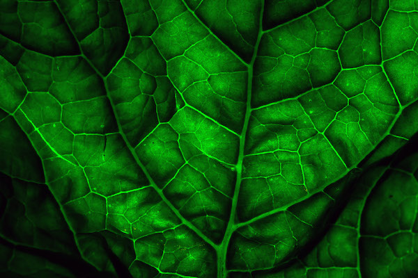 The leaf, a biological solar panel