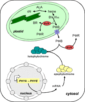 Model of phytochrome biosynthesis.