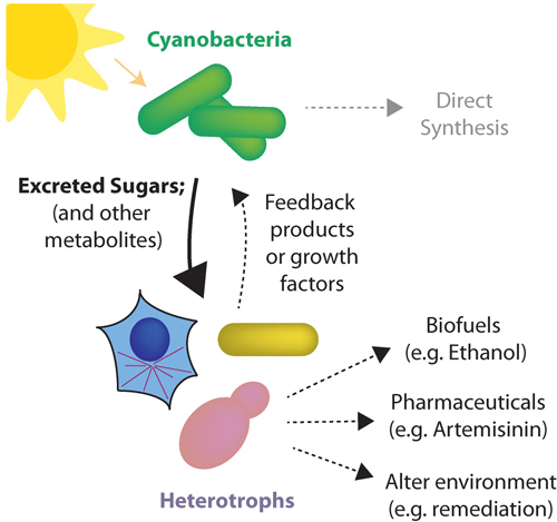 Schematic of a sucrose secreting cyanobacterial cell exporting sucrose from light-driven reactions that fuel heterotrophic microbes in the engineered consortia.