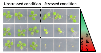 Arabidopsis seedlings exposed to stress treatment