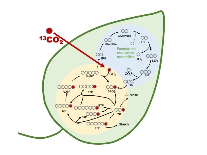 Diagram of a leaf showing photorespiration mechanisms