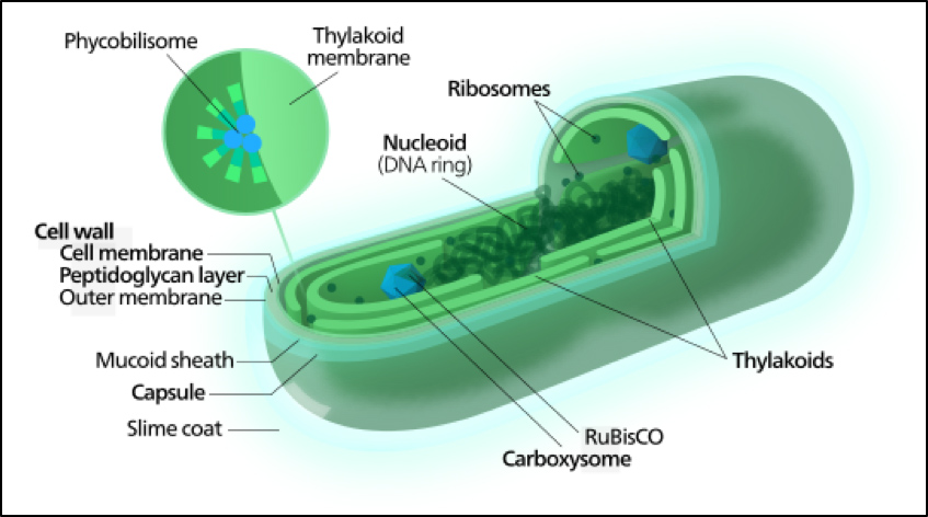 Labeled diagram of a cyanobacterium.