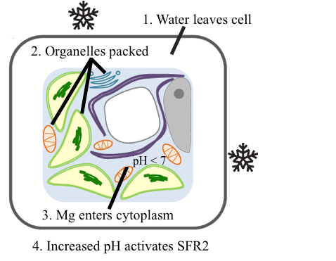 Figure of a cell with packed organelles and leaked magnesium in the cytoplasm