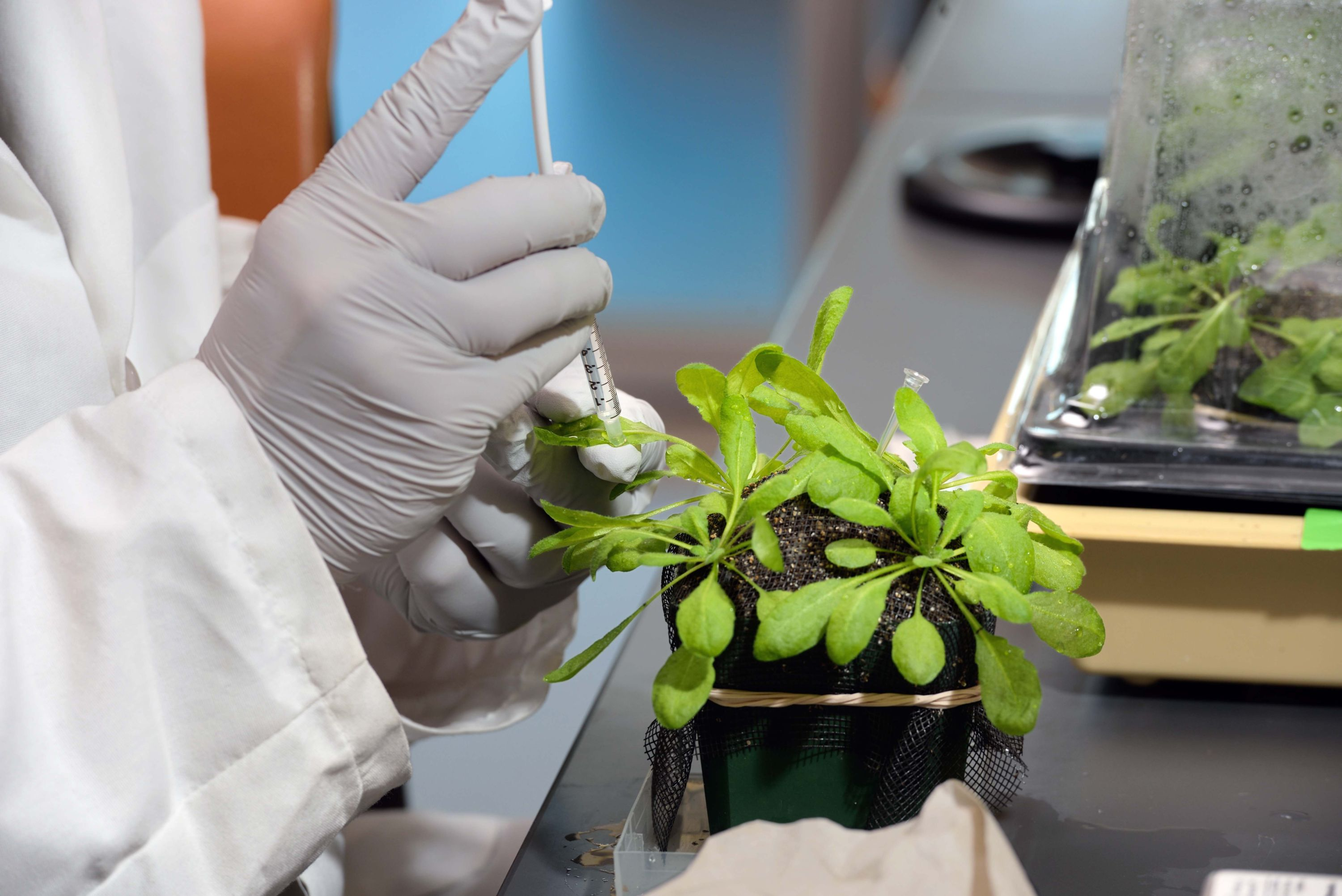 A scientist working with an Arabidopsis plant in the lab.