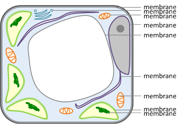 Figure of a plant cell indicating that membranes surround all the interior components.