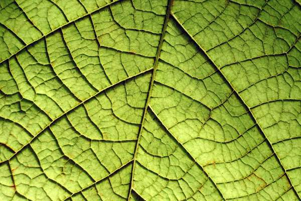 Investing in cell wall growth for improved photosynthesis