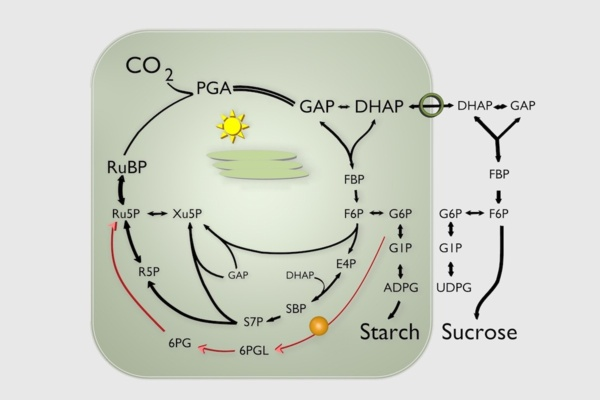 Protecting photosynthesis from stalling: a 24-hr molecular hotline