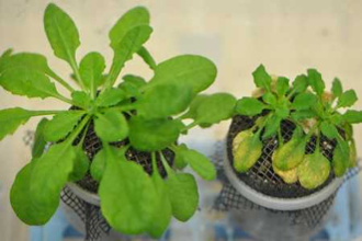 When plants and their microbes are not in sync, the results can be disastrous [LINK]